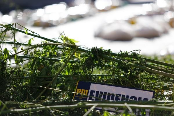 PDI Incauta Matas De Marihuana En Proceso De Secado En Temuco